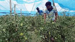 জয়পুরহাটে চেরি টমেটো চাষে সাগরের সফলতা