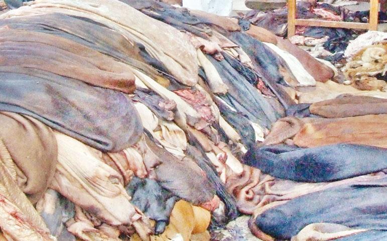 সরকারি দামে শনিবার থেকে কাঁচা চামড়া কিনবে ট্যানারি মালিকরা