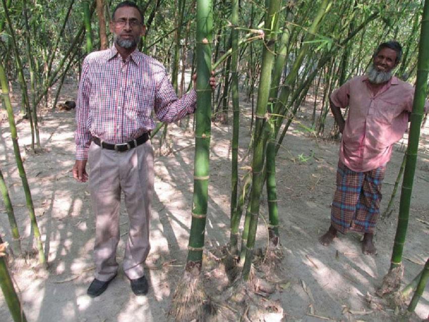 কাটিং ও কলম পদ্ধতিতে গাইবান্ধায় নজরুলের বাঁশ চাষ