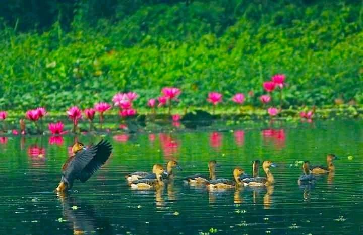 অতিথি পাখির জলকেলিতে মুখরিত জাহাঙ্গীরনগর বিশ্ববিদ্যালয়