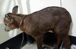 আলিকদমে মিলল বিরল প্রজাতির বুনো ছাগল