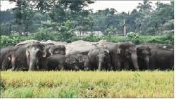 রৌমারী সীমান্ত এলাকার পাকা ধান খেয়ে ফেলছে ভারতীয় বন্যহাতি