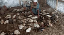 সোনারগাঁয়ে ডাক প্লেগ রোগে মারা গেছে ৭শ হাঁস