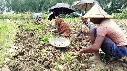 কচুচাষে বদলে গেছে বিরামপুরের ১১ গ্রামের কৃষকের জীবন
