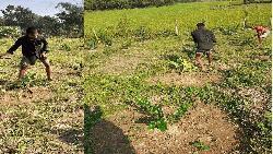 ভালুকায় বাগানের ৭ হাজার মাল্টা ও লেবু গাছ উপড়ে ফেলার অভিযোগ