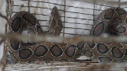 মুন্সীগঞ্জে পুকুরে মাছ ধরতে গিয়ে মিলল রাসেল ভাইপার
