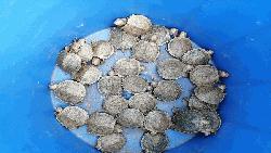 বিমানবন্দর থেকে উদ্ধার হওয়া কচ্ছপগুলোর ঠাঁই সাফারী পার্কে