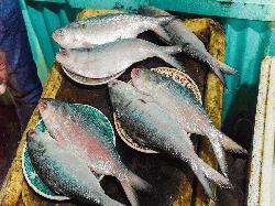 জাতীয় মাছ ইলিশ